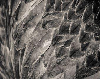 eagle feathers, 8x10 fine art black & white photograph