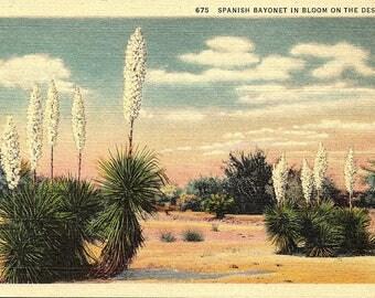 Desert Postcard - Spanish Bayonet, Desert - Postcard - Vintage Postcard - Unused (PP)