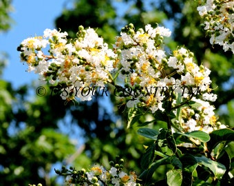 Crepe Myrtle Flower Closeup Photo Image, White Blossoms, Nature Photography, Instant Digital Download,Printable Gardener Gift itsyourcountry