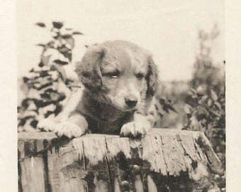 "Vintage Photo ""He'll Grow Into Those Paws"" Puppy Dog Golden Retriever Found Vernacular Photo"
