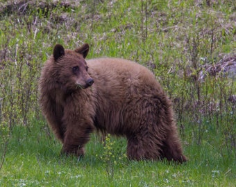 "Nature Photography, ""There's Something in Your Mouth, Mr. Bear!"", Yellowstone National Park, Customizable Sizing Available"