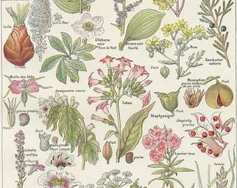 Plantes dangereuses H-Z 1962 vintage Petit poster de plantes médicinales vintage Cadeau plantes Décoration herboristerie