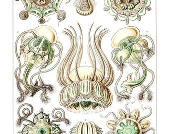 Ernst Haeckel's Vintage Artwork Narcomedusae