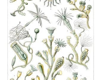 Ernst Haeckel's Vintage Artwork Campanariae
