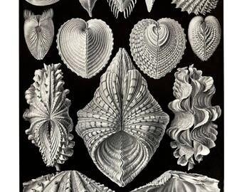 Ernst Haeckel's Vintage Artwork Acephala