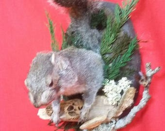 Taxidermy Squirrel front half Mount-Natural-Carpenter bee//bat-rat-mouse-deer