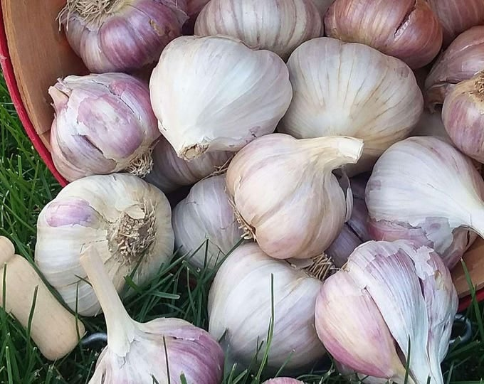 German Red Garlic Bulbs Organic Grown Gourmet - Half Pound For Planting or Cooking Cold Hardy Variety Fall Shipping Non-GMO