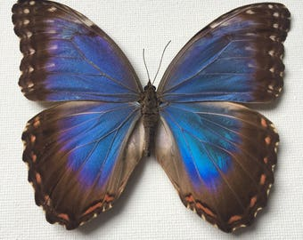 Dried Butterfly \\ Blue Morpho Butterfly \\ Preserved Butterfly \\ Taxidermy Butterfly \\ Loose Butterflies