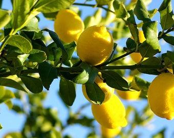 Lemon tree seeds,164, lemon , lemon from seeds,lemon juice,seeds for lemon tree, gardening,citrus trees