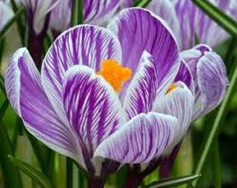 Saffron Crocus seeds,blue saffron crocus seeds,crocus of Kozani seeds,209,gardening