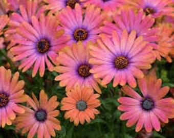 Livingstone Daisy mix,563,Dorotheanthus bellidiformis,gardening, flowers seeds, daisy seeds, spring flowers seeds,Osteospermum