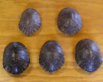 "5 - 7"" River Cooter Turtle Shells"