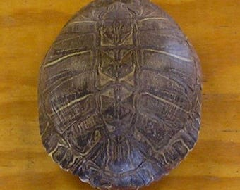 "Large 9"" Red Ear Slider Turtle Shell"