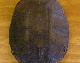 "XXLarge 14"" Snapping Turtle Shell"