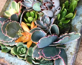 """9"""" X 9"""" Vertical Succulent Gardens in Square Patina Metal Trays"""