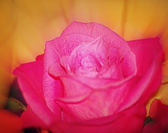 Soft focus pink rose with a colouful background