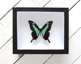 Real framed butterfly: Papilio phorcas // shadowbox // mint colored butterfly