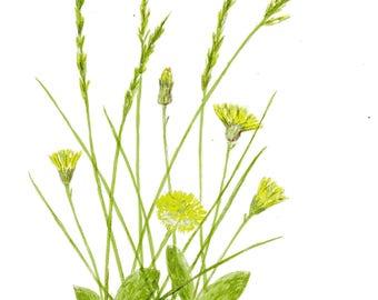 dandelion, watercolor, original