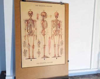 Human skeleton poster / poster skeletal system