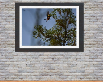 Nature Photography - Oriole in Flight - Wildlife Print - Wall Art Home Decor
