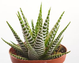 Haworthia Zebrina, Variegated Zebra Plant, Rare Succulent, Haworthia Fasciata Pearl Plant Rare Aloe Vera Plant, Cactus Plant Terrarium Plant