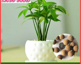 5pcs Evergreen Tree Nageia Seeds, Family green Ornamental Plant