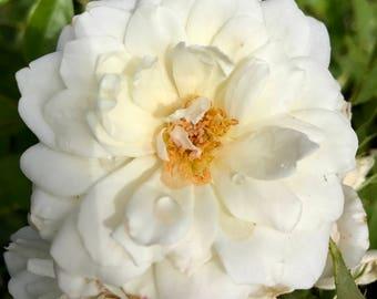 Snow White Rose