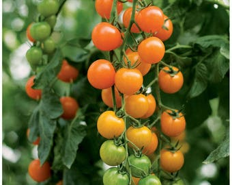 Tomato Toronjina Orange Cherry Lycopersicon esculentum, 15 seeds