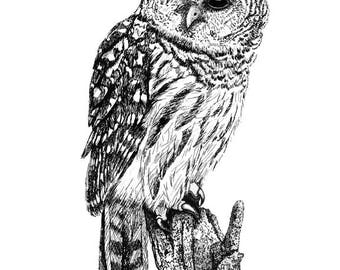 Barred Owl Giclee Print 8 x 10 inches Pen and ink