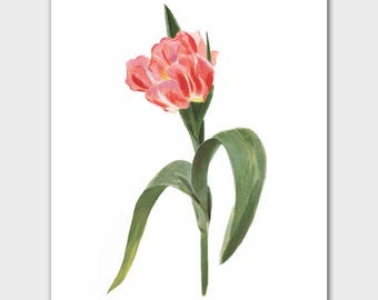 """Pink Room Decor (Botanical Minimalist Print, French Cottage Wall Art, Birthday Gift for Daughter) --- """"Ibis Tulip"""""""