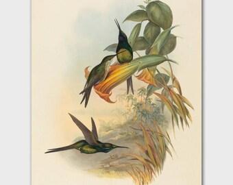 "Hummingbird Print, Botanical Bird Illustration (Antique Cottage Wall Decor, Vintage John Gould Bird Artwork) -- ""Empress"""