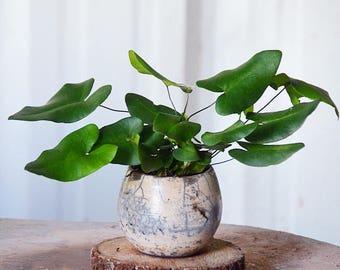 "Heart Fern Plant (Hemionitis arifolia) 4"" Earth-Friendly Biodegradable Coconut Fiber Pot"
