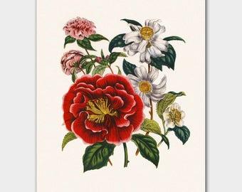"English Cottage, Art Print Flower (English Country Decor, Victorian Botanical Illustration) Jane Loudon ""Camellia"""