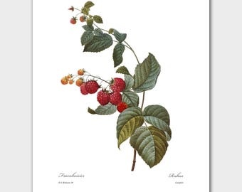 French Farmhouse Decor, Botanical Print (Wild Red Raspberry, Fruit Wall Art) -- Pierre Redoute