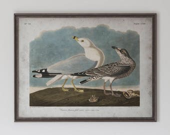 Common Gull: John James Audubon, Birds of America, Circa 1820's - Vintage Art Print