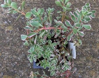 Sedum Tricolor (Variegated sedum, Sedum spurium)