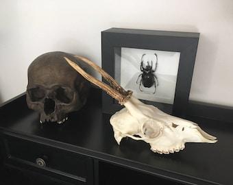 Real Deer Skull