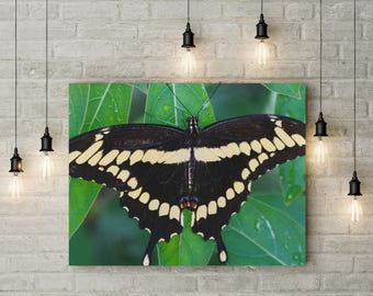 Swallowtail Butterfly Metal Print, Black Swallowtail Photo, Black Butterfly Print, Large Metal Wall Art, Butterfly Art Gift, FREE SHIPPING