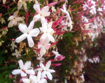 Jasminum polyanthum - Pink Jasmine Vine plant in 2x2 inch pot