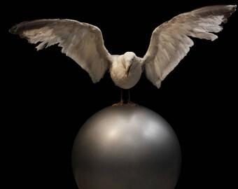 Seagull taxidermy