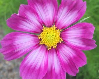 Pink Series V