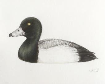 Greater scaup male original pencil drawing 3x5 bird birds waterfowl art