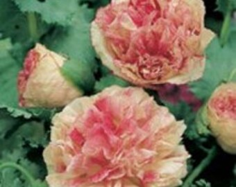 Poppy Paeony Flemish Antique Seeds / Papaver somniferum var. paeoniflorum, 'Flemish Antique' Seeds