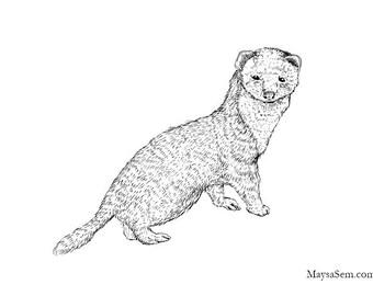 Ferret - Art Print