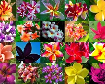 NEW! Plumeria Seeds/Flowers/Mixed 300 Seeds