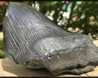 Carcharodon Megalodon Shark Tooth, Miocene, USA [FST050]