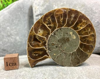 Ammonite Fossil Half - Marine Animal - found in Madagascar - Cretaceous Period - FST905