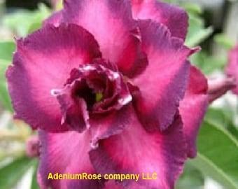 Adenium plant YKasuma Desert Rose rare flowering size succulent plant