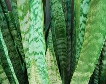 Snake Air Filter Plant Sansevieria Trifasciata