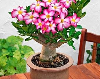 Desert Rose Plant (Adenium obesum) - Pink Color - Bonsai - Combine Shipping!